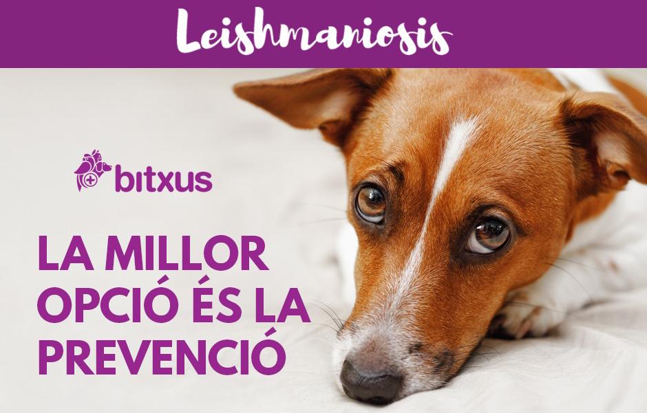 Leishmaniosis canina (malaltia del mosquit)