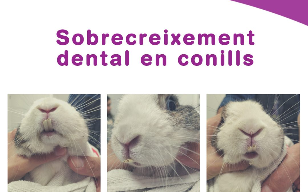 Sobrecreixement dental en conills