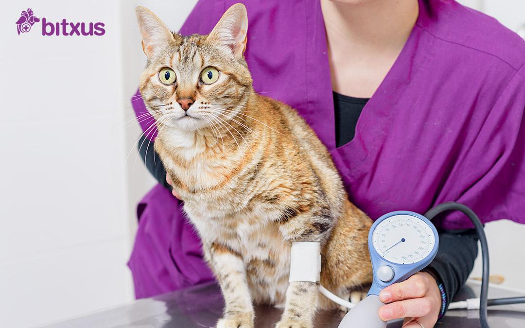La hipertensió en gats