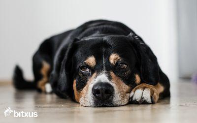 Síndrome de Disfunció Cognitiva (SDC) en gossos ancians