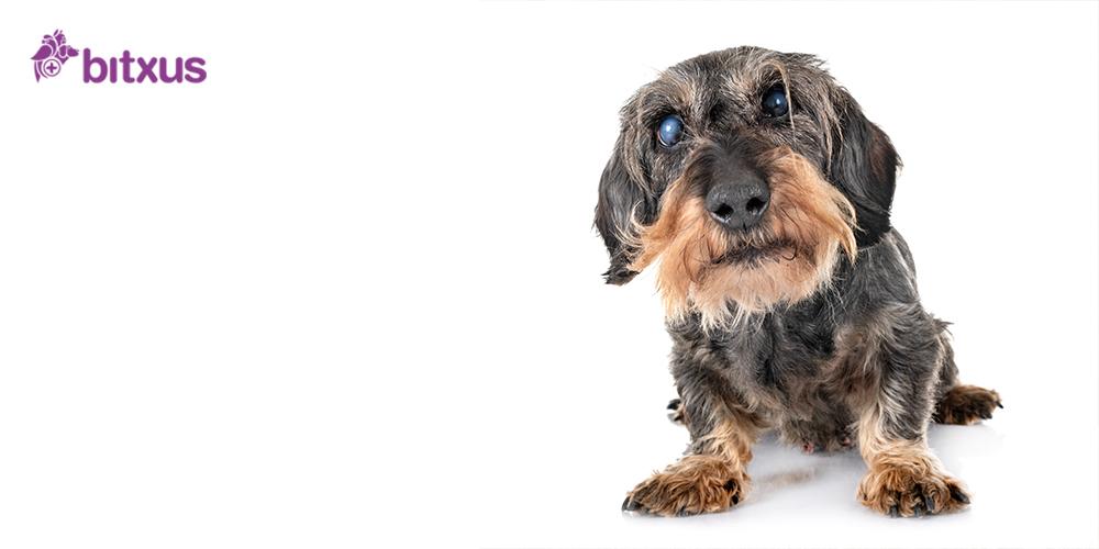 Cataractes en gossos i gats